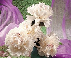 Фотографии Пионы Крупным планом Белых Цветы