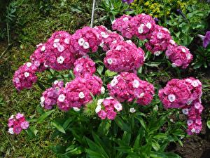 Картинки Флоксы Розовый Цветы