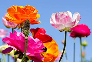 Фотографии Маки Крупным планом Цветы