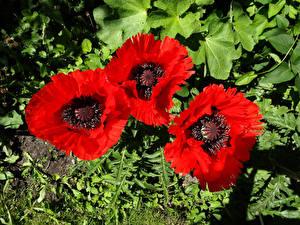 Фото Маки Крупным планом Три Красные Цветы