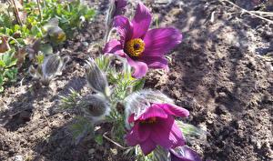 Фотографии Прострел Вблизи Бутон цветок