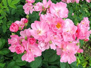 Картинки Розы Крупным планом Розовый Цветы