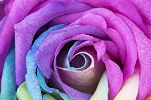 Фото Розы Вблизи Фиолетовый Цветы