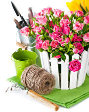 Обои Розы Белый фон Ведро Розовый Цветы