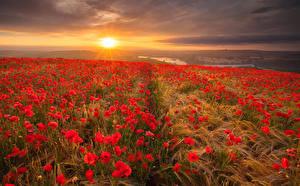 Фото Пейзаж Поля Маки Рассветы и закаты Колос Природа Цветы