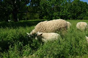 Фотография Овцы Детеныши Трава Животные
