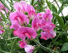 Фотографии Душистый горошек Крупным планом Розовый Цветы
