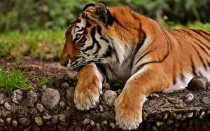 Фотография Тигры Лапы