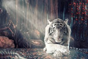 Фотографии Тигры Белый Лапы
