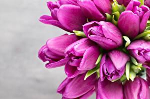 Фото Тюльпаны Вблизи Серый фон Фиолетовый Цветы