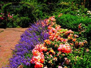 Картинка Штаты Сады Роза Живокость Кустов Brooklyn Botanic Garden Природа