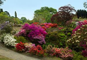 Обои Великобритания Сады Рододендрон Кустов Уэльс Bodnant Gardens Природа