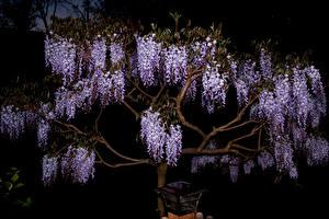 Фотография Вистерия Ночные Ветвь Цветы