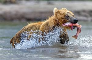 Фото Медведи Рыба Вода Брызги Охота Животные
