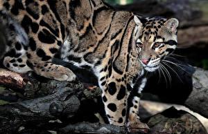 Картинка Большие кошки Леопарды clouded