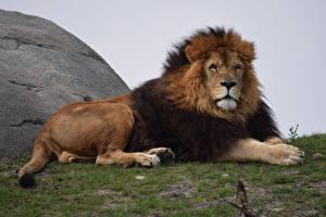 Картинка Большие кошки Львы Смотрит