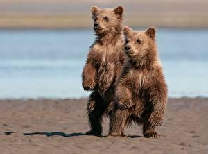 Картинки Медведи Гризли Детеныши 2