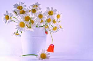 Картинка Ромашки Ведре цветок