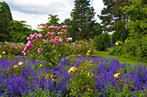 Обои Канада Парки Розы Ванкувер Кусты Queen Elizabeth Park