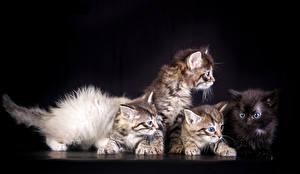 Картинки Кошки Черный фон Котята