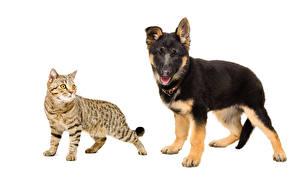 Картинки Коты Собаки Немецкая овчарка Белый фон Два Животные
