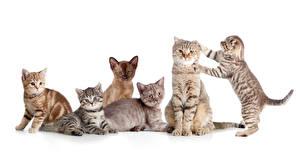 Картинки Кошка Много Белым фоном Котенка Животные