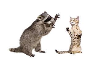 Картинка Коты Еноты Белым фоном Двое животное