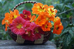 Фотография Вблизи Корзинка Nasturtium (настурция) Цветы