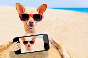 Фотографии Собака Чихуахуа Очков Пляжа Смартфон Селфи животное