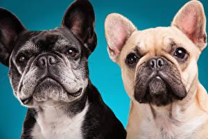Картинка Собаки Цветной фон Двое Бульдога Морда животное