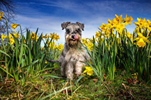 Фотографии Собаки Нарциссы Шнауцер Животные