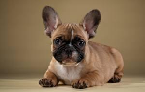 Фото Собаки Французский бульдог Животные