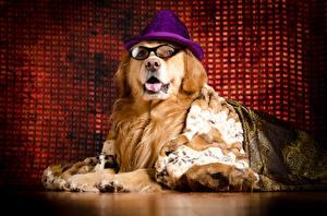 Фотографии Собаки Голден Шляпа Очки
