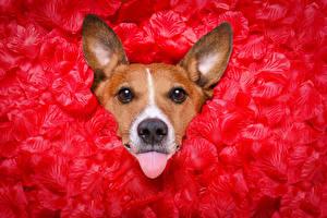 Картинка Собаки Джек-рассел-терьер Лепестки Красный Язык (анатомия) Смотрит