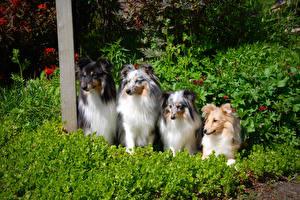 Фотография Собаки Кусты Колли Шелти шетландская овчарка