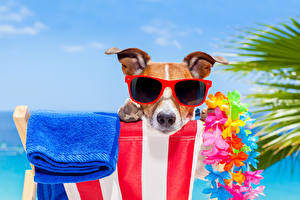 Картинки Собаки Полотенце Джек-рассел-терьер Очки Морда