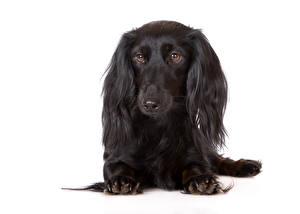 Фотография Собаки Белый фон Такса Черный Взгляд Животные
