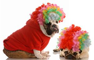 Фото Собака Белым фоном Два Бульдога Униформа животное