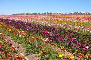 Картинка Поля Лютик Много Цветы
