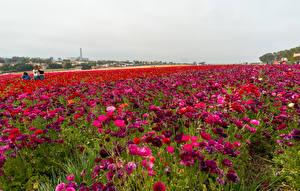 Фото Поля Лютик Много Цветы
