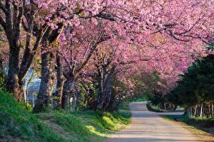 Картинки Цветущие деревья Дороги Сакура Деревья