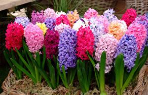Обои Гиацинты Вблизи Разноцветные Цветы
