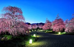 Фото Япония Токио Парки Вечер Цветущие деревья Уличные фонари Природа