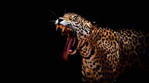 Картинка Леопарды Черный фон Язык (анатомия) Зевает Животные