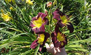 Фото Лилия Крупным планом Цветы
