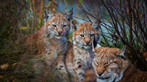 Фотография Рыси Втроем животное