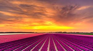 Фото Нидерланды Поля Гиацинты Рассветы и закаты Природа