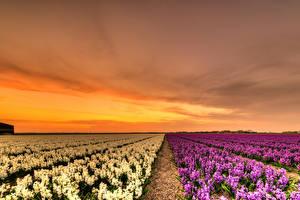 Фотография Нидерланды Поля Рассветы и закаты Гиацинты Много Природа Цветы