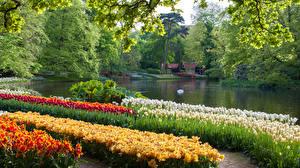 Картинка Нидерланды Парки Пруд Тюльпаны Keukenhof Природа