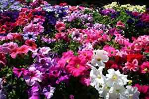 Картинка Петуния Много Разноцветные цветок